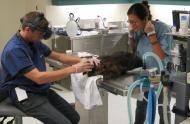 Les vétérinaires s'occupent de la femelle castor © Biodôme de Montréal