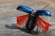 Un coléoptère, juste avant l'envol