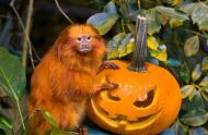 Tamarin-lion doré (Leontopithecus rosalia) à l'Halloween © Biodôme de Montréal (Claude Lafond)
