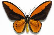 Ornithoptera-croesus-lydius-(m)