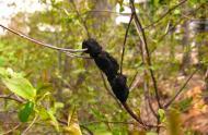 Nodule noir, © Jardin botanique