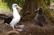 Albatros de Laysan (Phoebastria immutabilis) © Jean Lemire, Glacialis Productions