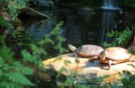 Tortues peintes