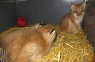 Bébés lynx âgés de 43 jours