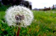Pissenlit (taraxacum) © cc Flickr (Simon-And-You)