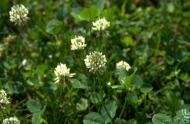 White clover (trifolium repens) © Jardin botanique de Montréal (Édith Smeesters)