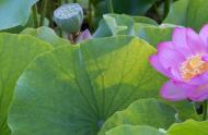 Nelumbo nucifera - lotus