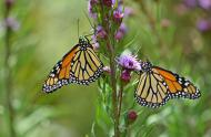 Monarchs on Liatris spicata