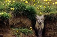 Terrier de renard