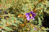 The porcupine tomato (Solanum pyracanthos)