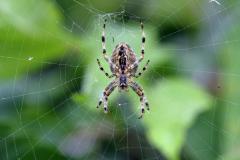 Diadem spider (Araneus diadematus)