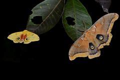 Papillons nocturnes