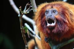 Le rétablissement du tamarin-lion doré menacé par une épidémie de fièvre jaune - Carrousel