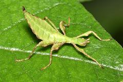 A 114-year-old mystery in the leaf insect world has now been solved
