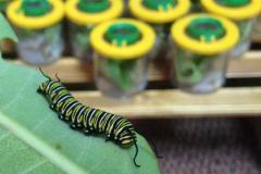 Élevage de chenilles monarques