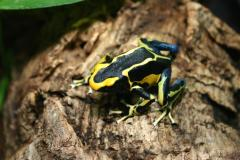 Dyeing poison frog (Dendrobates tinctorius)