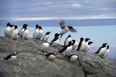 Marmettes, pingouins et macareux aux île Sainte-Marie, Jean-François Rail, SCF