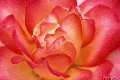 Rosa 'Rainbow Sorbet' © Jardin botanique de Montréal (Lise Servant)