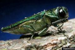 Adult emerald ash borer © Michigan State University (David Cappaert)