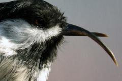 Mésange à tête noire souffrant du trouble de la kératine aviaire.