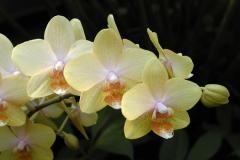 Phalaenopsis 'TAIPEI GOLD X LEYTE STUART' © Gilles Murray
