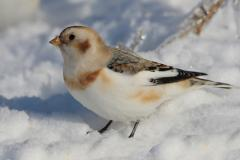 Snow bunting © concours photo (Normand Boucher)
