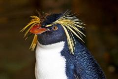Saving the northern rockhopper penguin - Biodôme