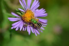 The Virescent green metallic bee (Agapostemon virescens) is a very common small solitary bee.