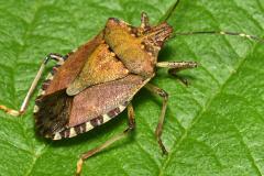 Adult - brown marmorated stink bug (Halyomorpha halys)