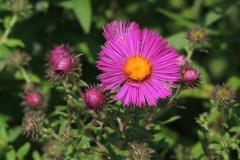 New England aster (Symphyotrichum novae-angliae 'Andenken an Paul Gerber')