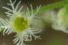 Mitrelle à deux feuilles (Mitella diphylla)