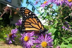 A monarch in a garden, feeding on an aster.