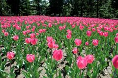 Tulipes dans les Jardins d'accueil. Crédit photo : Jardin botanique de Montréal, Michel Tremblay