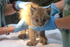 Examen vétérinaire du chaton