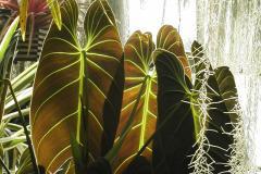 Philodendron melanochrysum © Jardin botanique de Montréal (Gilles Murray)