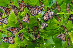 Quand les monarques se rassemblent