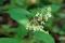 Asclépiade très grande (Asclepias exaltata)