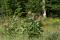 Common milkweed (Asclepias incarnata)