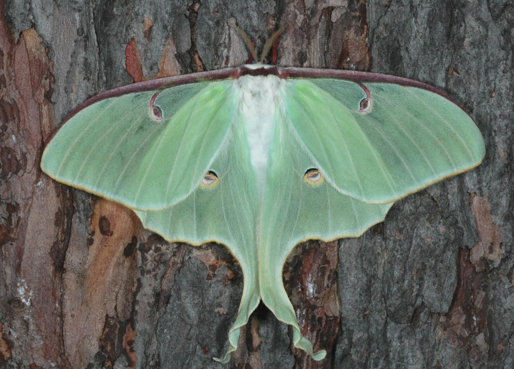 Papillon de nuit signification symbole - Duree de vie papillon de nuit ...