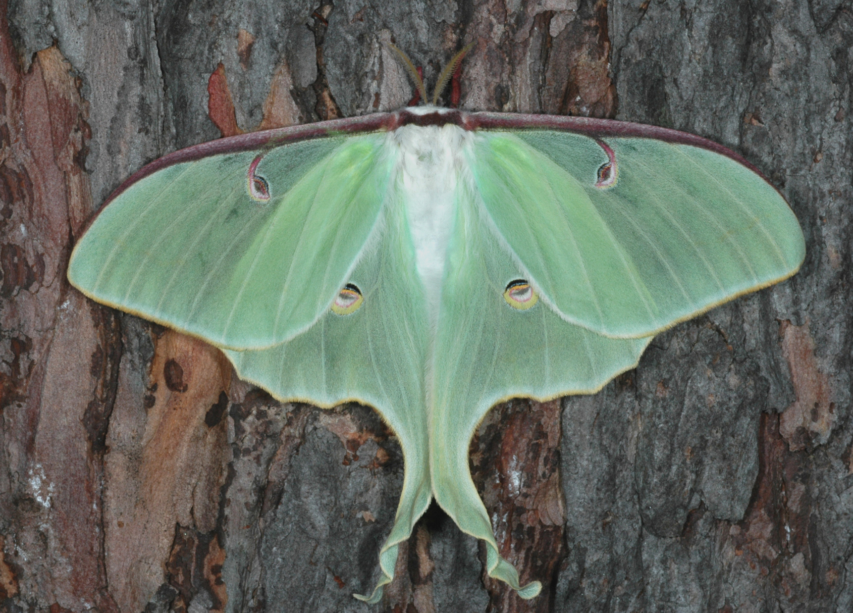 Luna Moth Space For Life