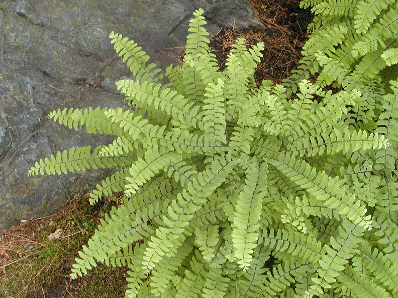 Growing hardy ferns space for life for Biodome insectarium jardin botanique