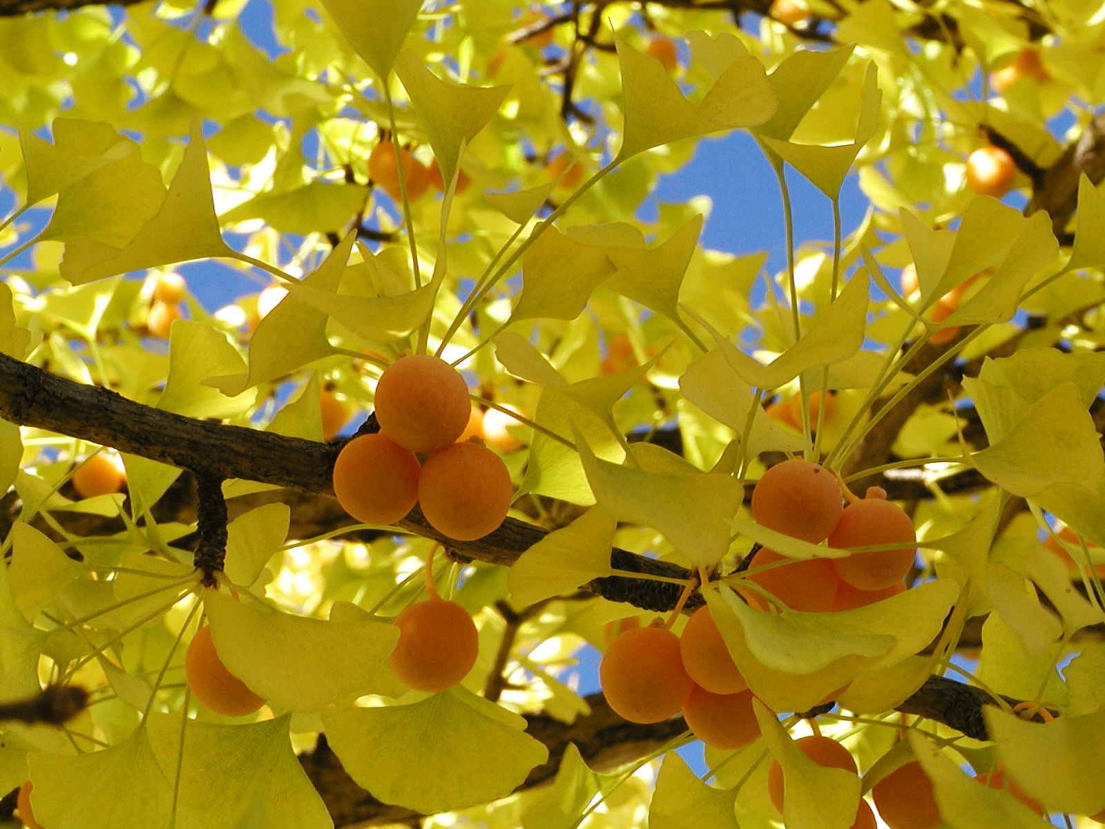 Images Of Beautiful Gardens Growing Ginkgo From Seed Space For Life