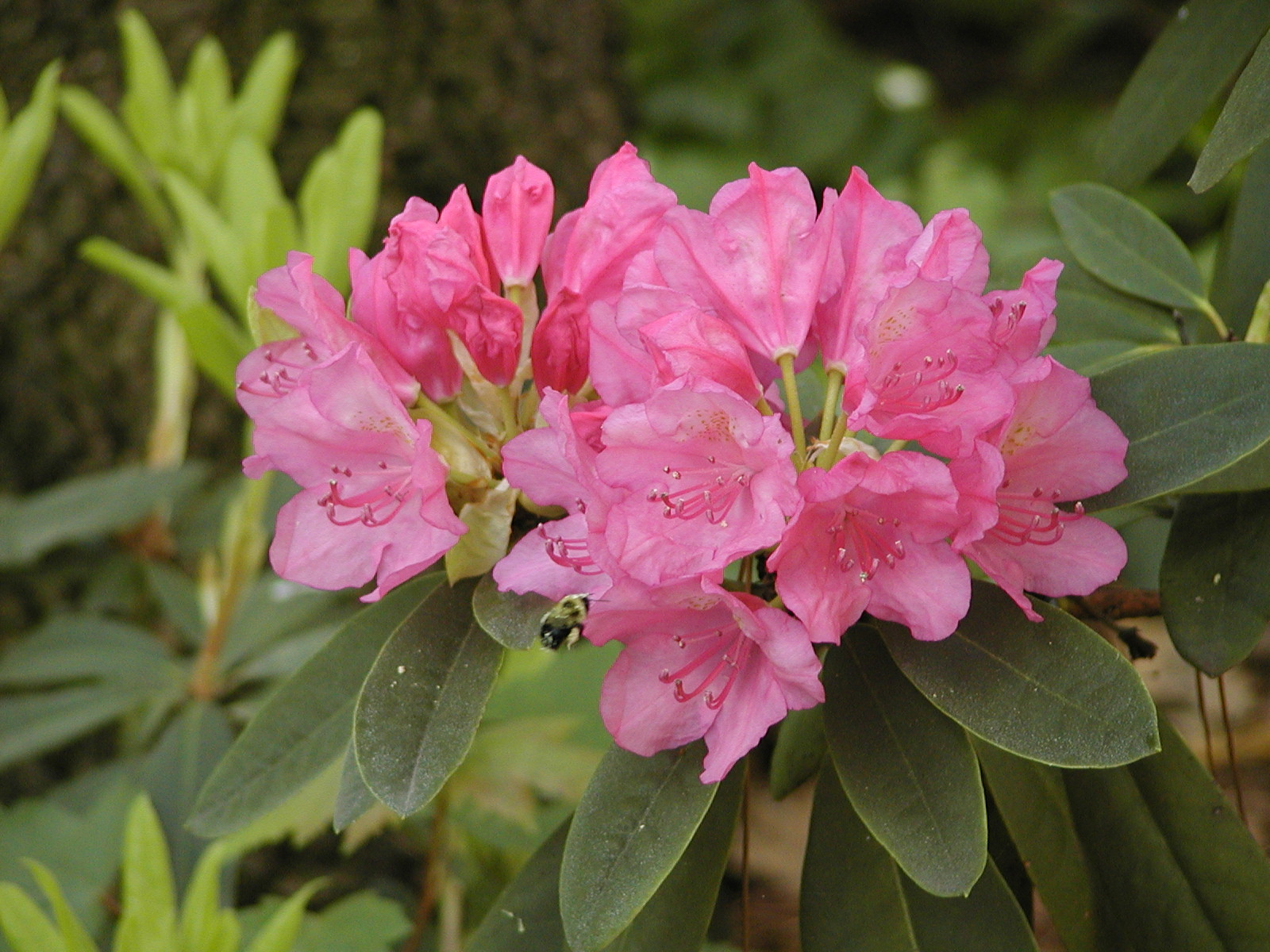 3 Year Loans >> Rhododendrons   Space for life