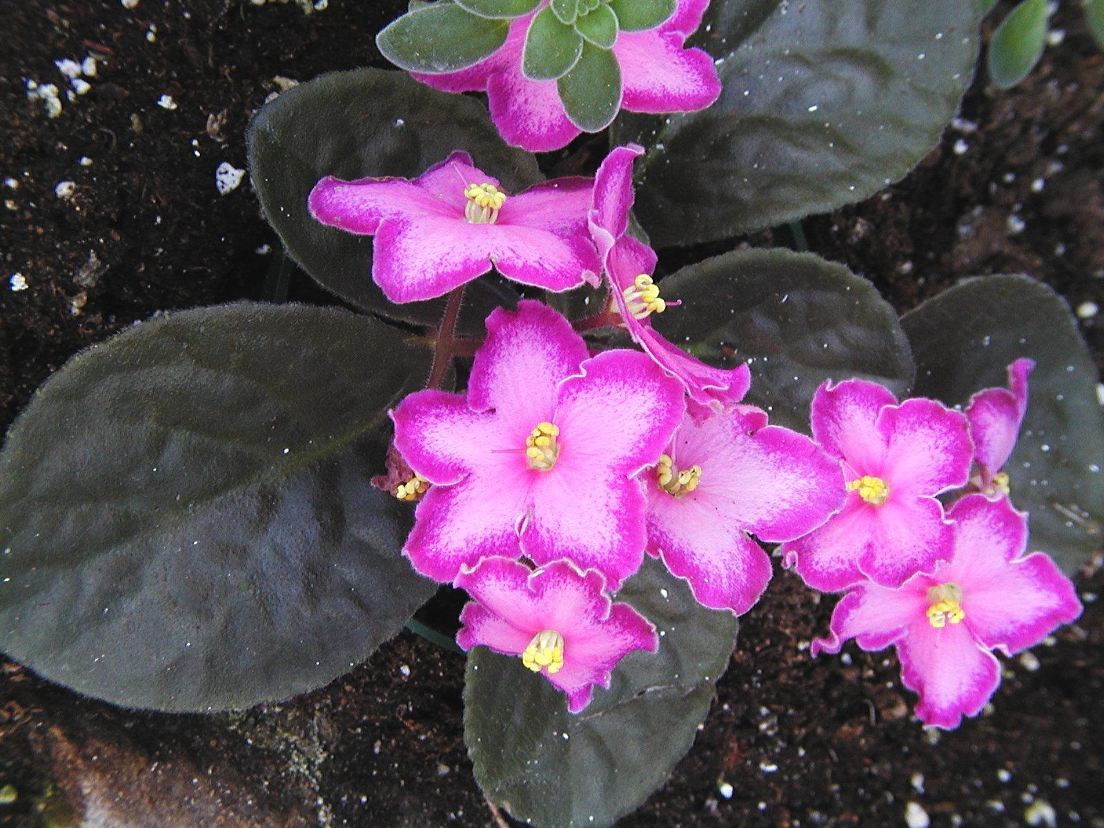 Violette africaine le saintpaulia espace pour la vie for Violette africane