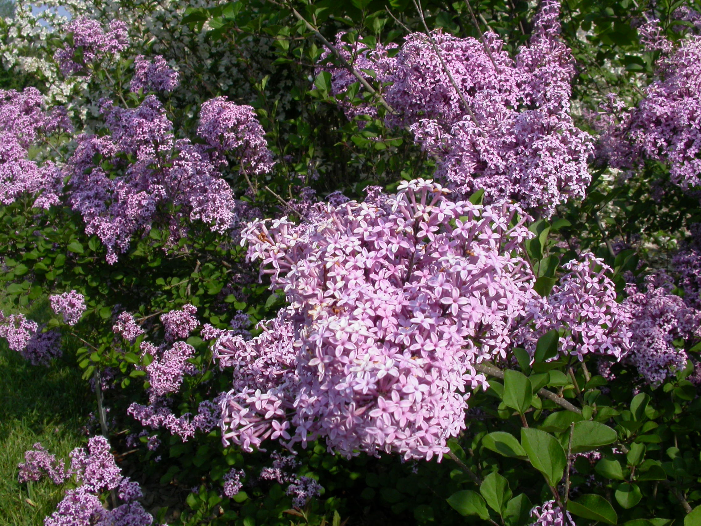 Pruning lilacs space for life for Biodome insectarium jardin botanique