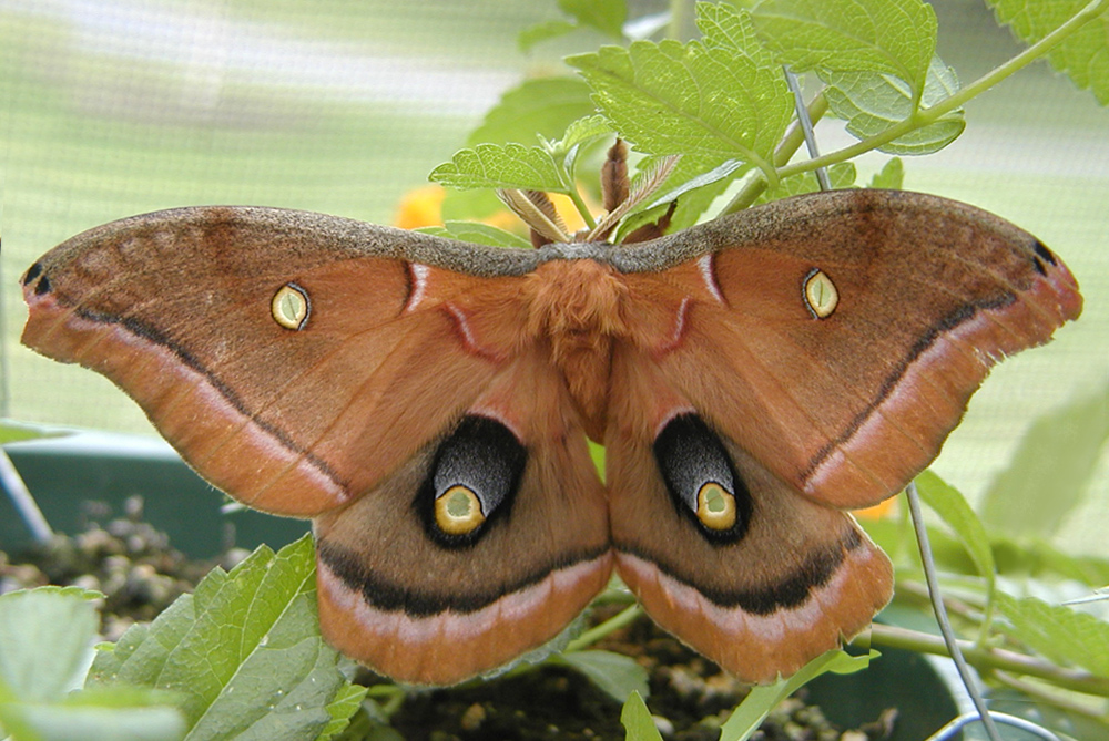 Polyphemus moth | Space for life