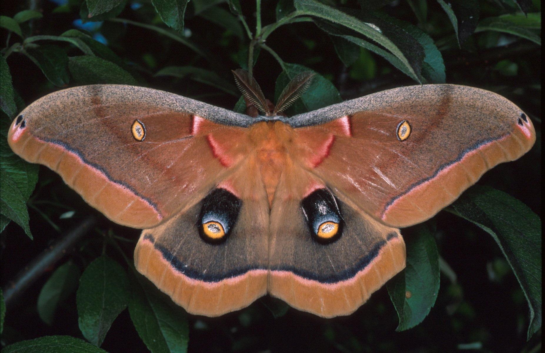 Antheraea polyphemus | Space for life