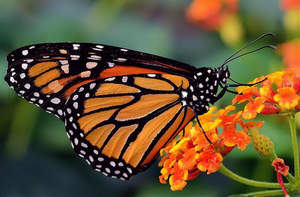 Monarque sans fronti re espace pour la vie - Images de papillon ...