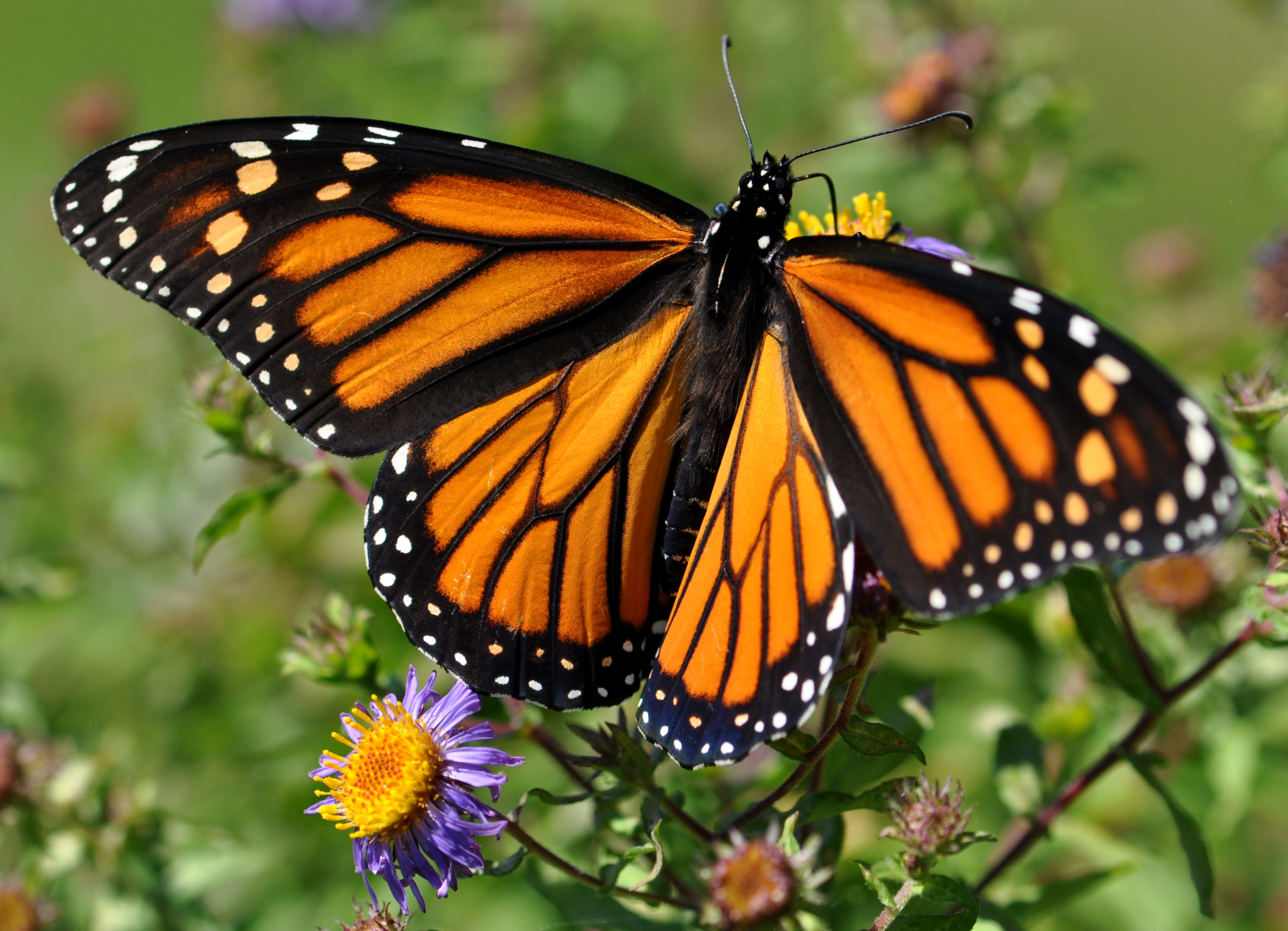 Monarque espace pour la vie - Chenille orange et noir ...