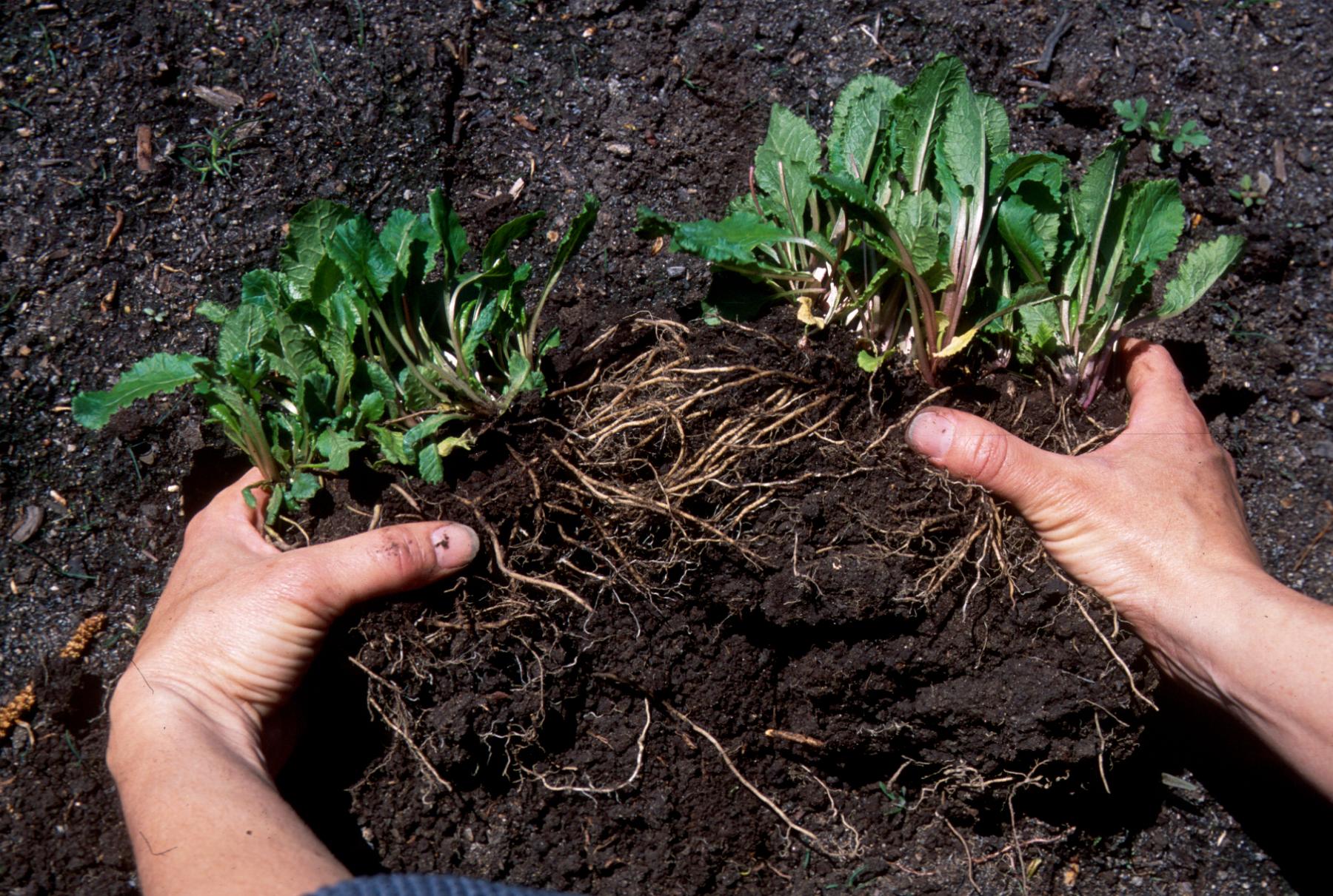 Division des vivaces espace pour la vie for Entretien plantes vivaces